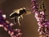 Pszczoła_1450