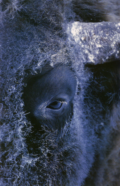 An European lowland  bison (bull) portrait in a freezing winter