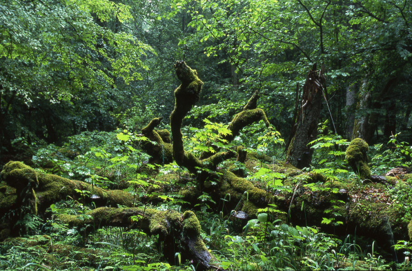 A marcescent old oak in the middle of the Bialowieza N.P, Poland
