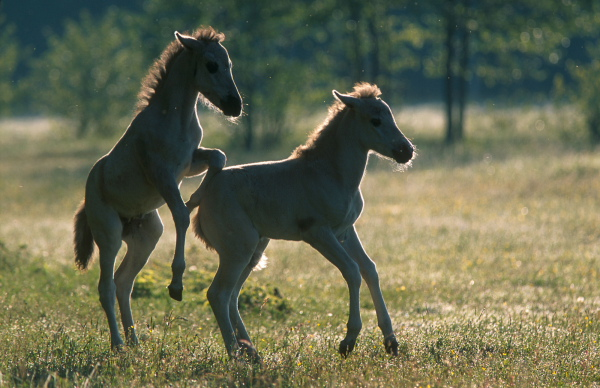 Playing time of Konik Polski colts