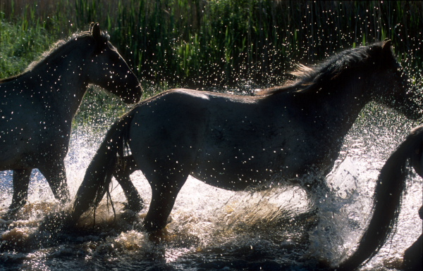 Konik Polski herd crossing a small river