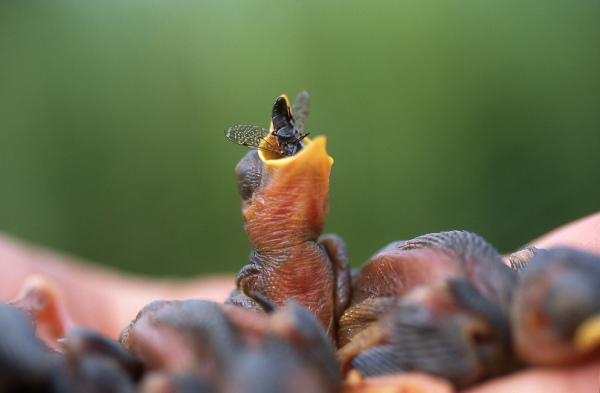 Aquatic warbler chick feed with a big flie, Bielorussia.