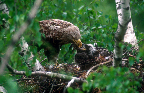 White-tailed eagle (Haliaeetus albicilla) at nest with four week