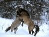 Fight between stallions of Konik Polski