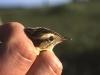 Aquatic warbler (Acrocephalus paludicola) in the hand of ornitho