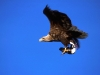 White-tailed eagle (Haliaeetus albicilla) with Puffin in the tal
