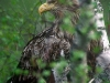 White-tailed eagle (Haliaeetus albicilla) at nest with two weeks