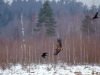 Young White-tailed eagle following a raven