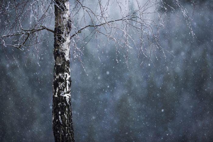 birch_snow