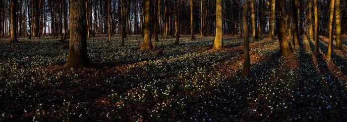 leucojum_forest