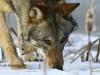 1-saga-opowiesc-o-wilku-fot-jan-walencik