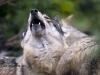 2-saga-opowiesc-o-wilku-fot-jan-walencik