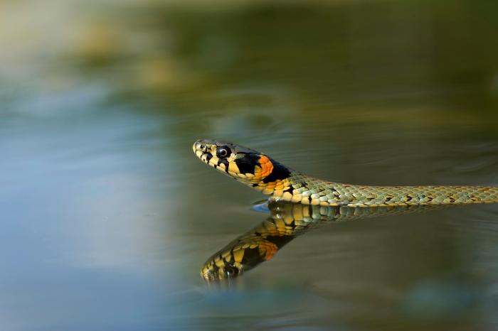 Zaskroniec (Natrix natrix)