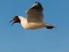 Mewa smieszka (Larus ridibundus)