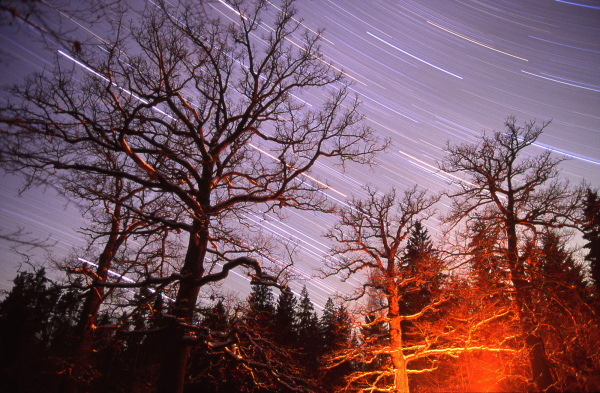 Winter night in the old Oak stand of Stara Bialowieza (Poland)