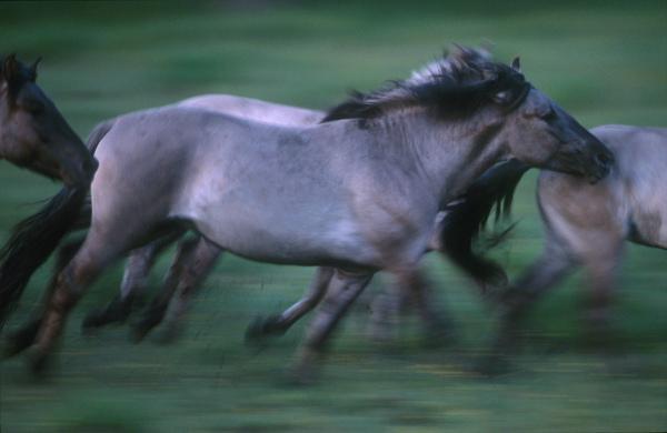 Konik Polski, descendant of the Tarpan, last wild European horse