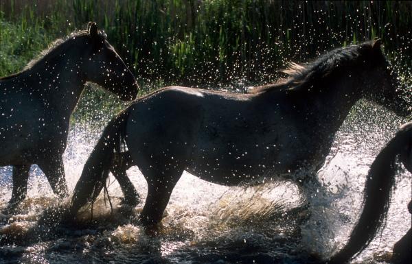 Konik Polski herd crossing a small river
