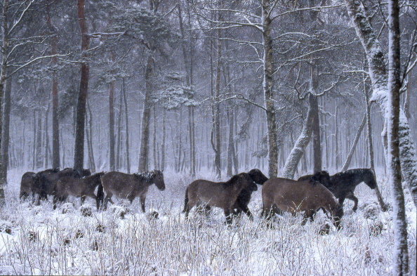 Konik Polski, herd crossing forest under snow fall
