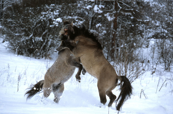 Fight between stallions of Konik Polski