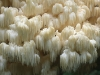 Hericium elathroides, mushroom